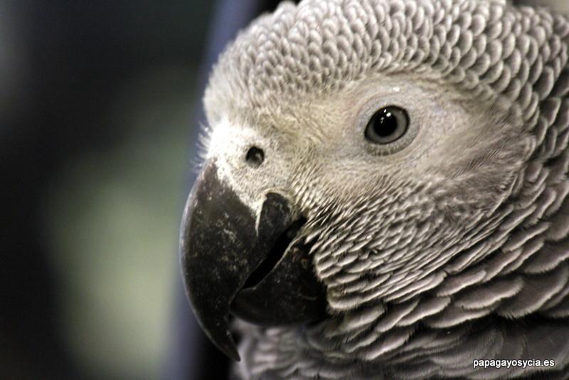 Yaco o loro gris de cola roja