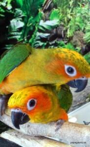 Aratingas papilleras recien destetadas