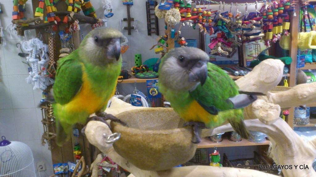 papagayos y cia you you