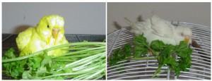 periquitos verdura