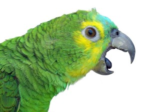 Parrot_talking.299203259_std