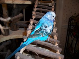 blue-budgie-003