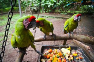 Great Green Macaws eat fruit at the breeding center in Alajuela.