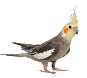 Cockatiels-for-sale