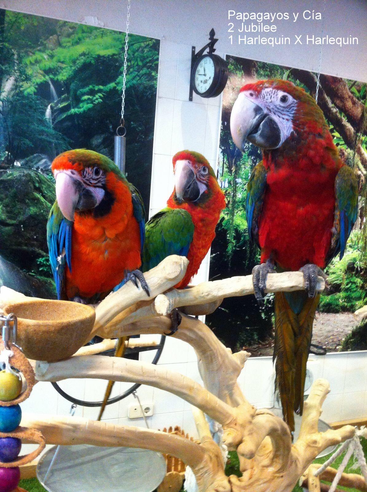 Ara-jubilee-Papagayos-y-Cía