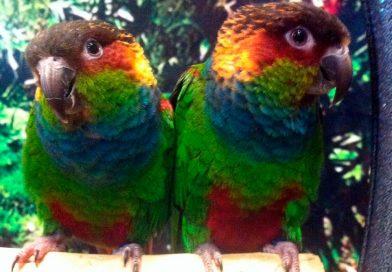 pyrrhuras-papilleras-papagayos-y-cia