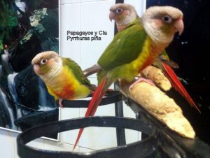 Pyrrhura-Papagayos-y-Cía