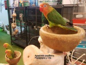 Agapornis-papilleros-papagayosycia